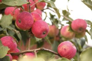 Секреты правильного выбора яблоневых саженцев543